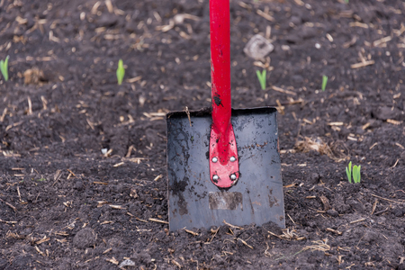 shovel stands in the ground, in the field, during the planting of the harvest