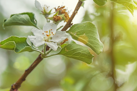 blooming apple trees in a green garden, in the Park, in the garden Stock Photo