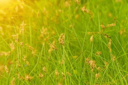 blooming green grass in the field, animal feed on the farm Stock Photo