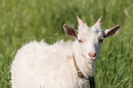 a white goat eats green, juicy grass on a meadow in sunny weather in summer Banco de Imagens