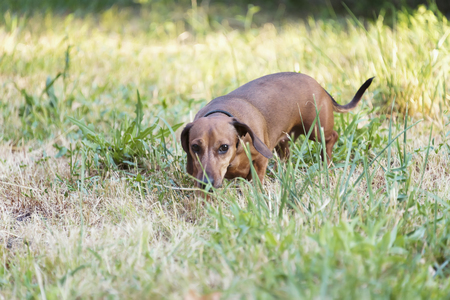 hunting dog dachshund, Basset walks along the grass in the street in the park