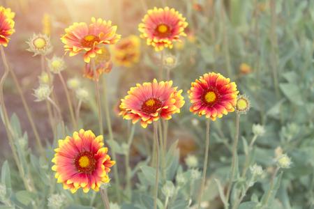 beautiful blooming gerberas in summer in warm weather in the sun
