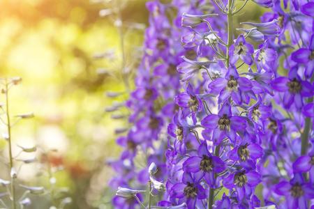 delphinium en fleurs sur le terrain, en été par temps chaud dans le vent