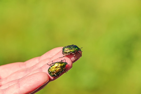 two green beetles sit on a mans hand