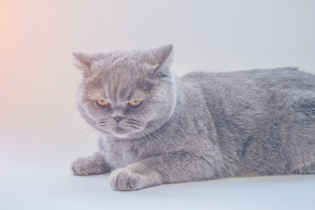 gray cat lying on a white panel, with a displeased face Reklamní fotografie