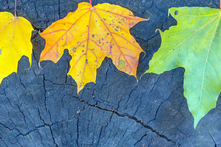 bright maple leaves on wooden background