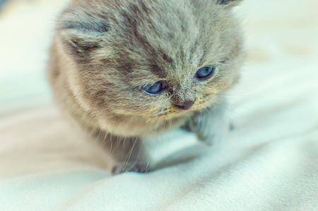 the little, gray kitten plays on a white background, selective focus