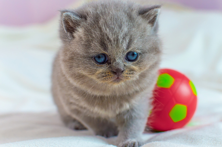 little, gray kitten plays with a red ball on a white cover, selective focus