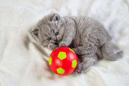 little, gray kitten plays with a red ball on a white cover, selective focus Archivio Fotografico - 125137621