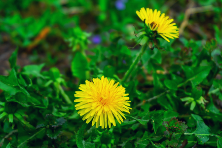 green field grass with flowers, chamomile dandelions and bee Archivio Fotografico - 125135989