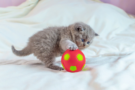 little, gray kitten plays with a red ball on a white cover, selective focus Archivio Fotografico - 125135644