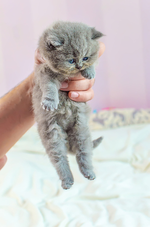 the little, gray, lovely kitten lies in a male hand, selective focus Archivio Fotografico - 125132998