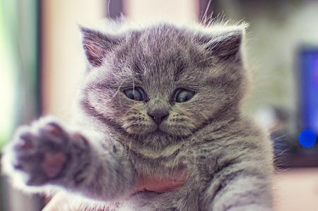 little fluffy, gray kitten plays, cute pet, selective focus Archivio Fotografico - 125133001
