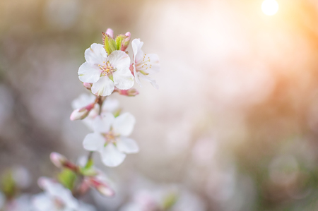 branches of flowering cherry with white flowers in spring, at the beginning of sunny summer white flowers Archivio Fotografico - 125132826