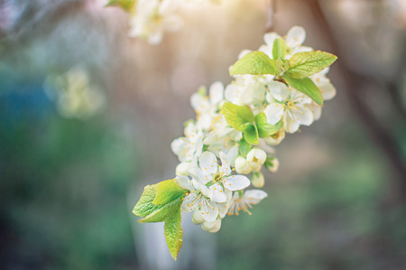branches of flowering cherry with white flowers in spring, at the beginning of sunny summer white flowers Archivio Fotografico - 125132670