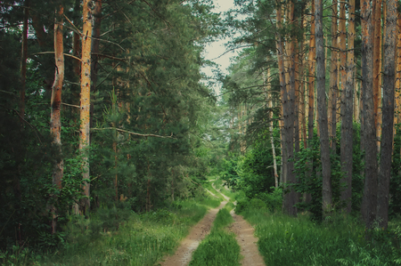 green Siberian forest in summer, footpath in a green pine forest Archivio Fotografico - 125132498