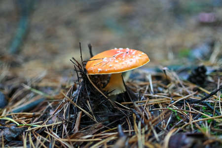 Amanita Muscaria, poisonous mushroom around the world, fly agaric close-up, selective focus.