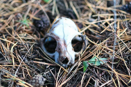squirrel skull in the forest on the ground close-up, selective focus