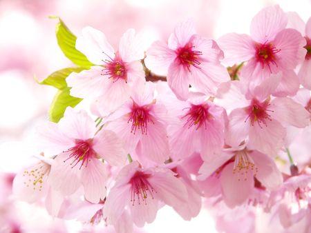 fleurs de cerisiers: Fleurs de cerisier de rose  Banque d'images