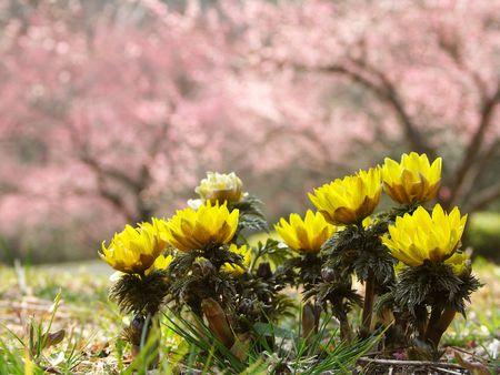 japanese apricot flower: Pheasants eye and Japanese apricot flower Stock Photo