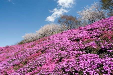 Moss phlox and cherry blossoms