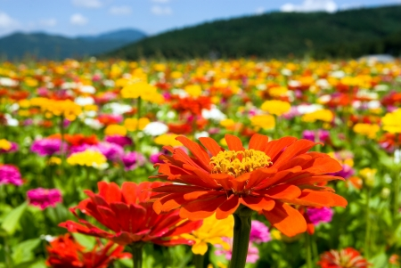 flowers field: Zinnia Flowers Stock Photo