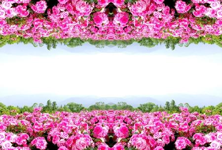 flowering in plants: Rose flower frame