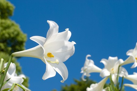 Easter lily photo