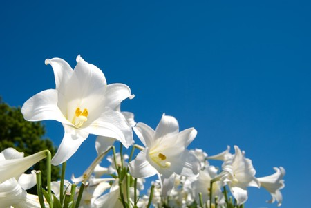 flowering field: Easter lily Stock Photo