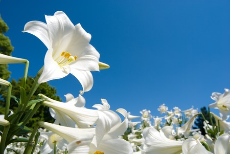 lily flower: Easter lily Stock Photo