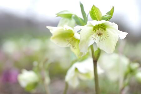 Hellebores flower