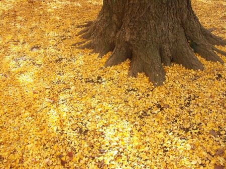 Turning yellow of the Ginkgo dead leaves Stock Photo - 7554019