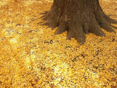dead leaves: Volviendo amarilla de las hojas muertas de ginkgo  Foto de archivo