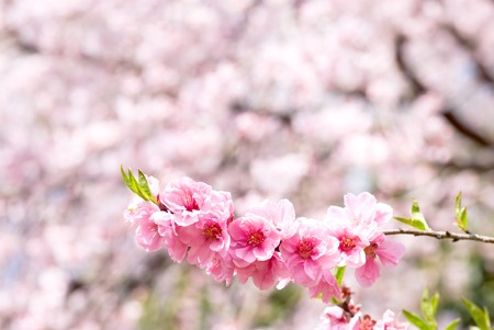 The peach blossoms on Cherry blossoms background