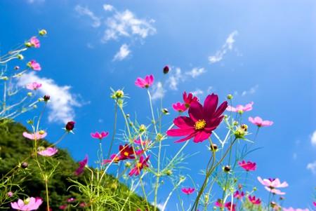 코스모스 꽃 스톡 콘텐츠