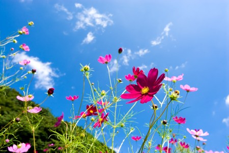 cosmos flower: Cosmos flowers
