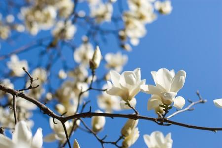 Magnolia denudata photo