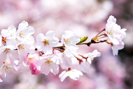 Full blossoming Yoshino cherry blossom