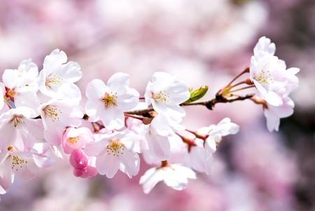 Volledige bloeiende Yoshino cherry blossom