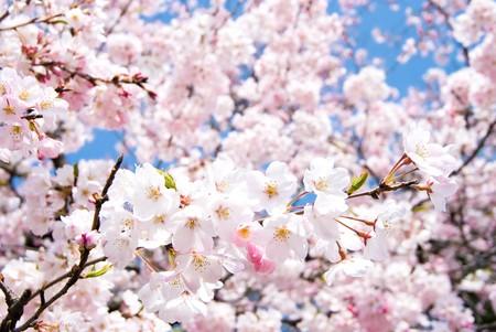 Full blossoming Yoshino cherry blossom