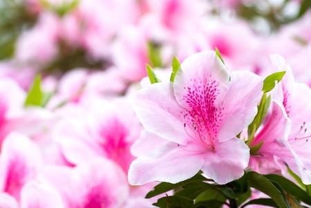 Pink japanese azalea photo