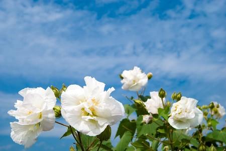 rosemallow: Cotton rosemallow