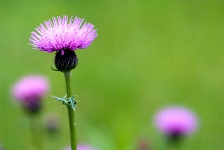 Thistle flower Stock Photo - 7553313