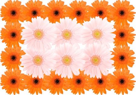 barberton daisy: Barberton daisy background Stock Photo