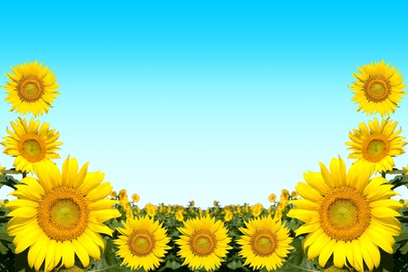 The frame which displayed the sunflower Stock Photo - 7576781