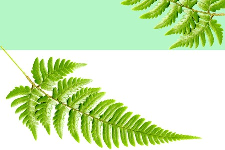 Green flame of the fern leaves photo