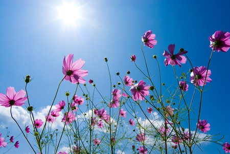 Cosmos flower in the blue sky photo