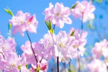 Full bloom flowers of the Royal azalea