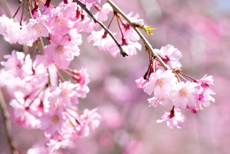 drooping: Pink drooping cherry blossoms called Yae-beni-shidare bloom