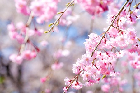 Pink drooping cherry blossoms called Yae-beni-shidare bloom